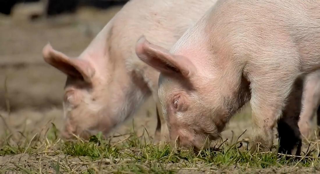 Coronavirus hos danske dyr?